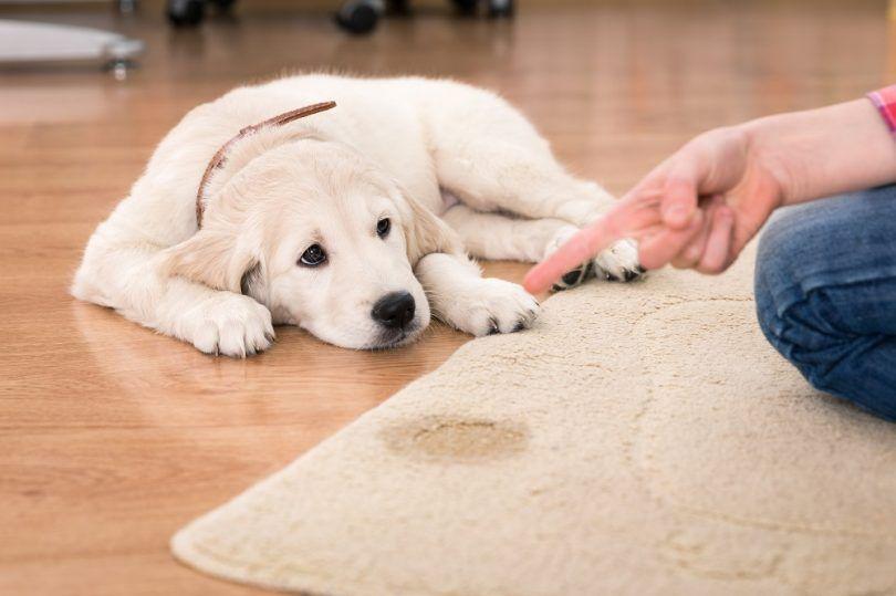 Comment obtenir l`urine de chien odeur de tapis: traditionnelle vs solutions modernes