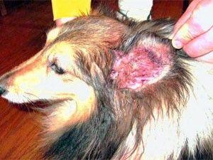 Comment se débarrasser des mites d`oreille chez les chiens - traitements et des remèdes maison