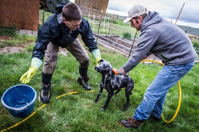 Comment obtenir skunk odeur de chien: les méthodes de nettoyage efficaces pour l`élimination des odeurs