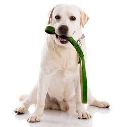 Un chiot de laboratoire jaune avec une laisse verte dans sa bouche
