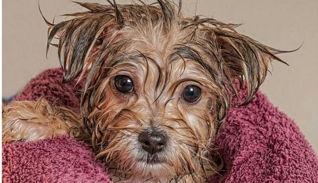 Comment toiletter un chien: des conseils pour faire de votre chien soit à son meilleur
