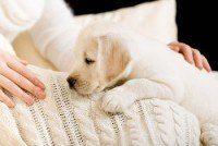 Blanc Labrador chiot couché sur le couvre-lit blanc près des mains de la femme