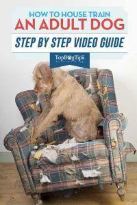 Comment housetrain Un chien adulte vidéo
