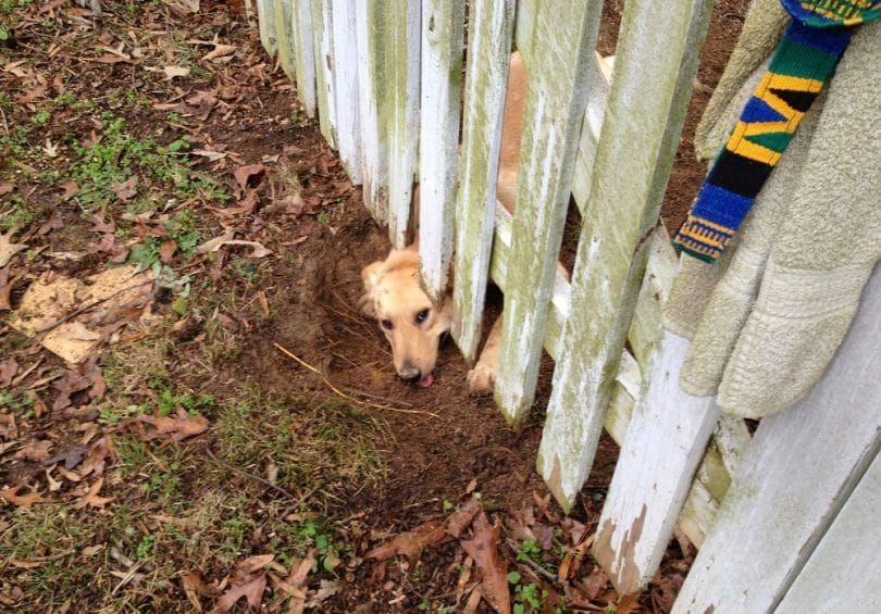 Creuser sous clôture