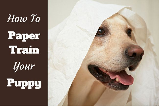 Comment former un chiot papier - un labrador jouer avec du papier hygiénique