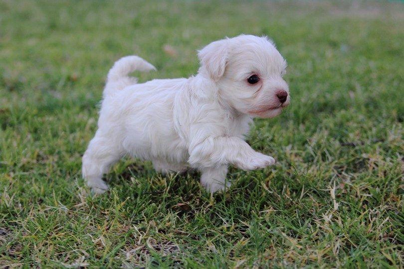 poodle puppy français