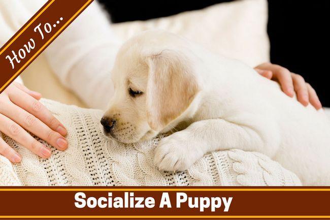 Comment socialiser un chiot et élever un chien heureux confiant
