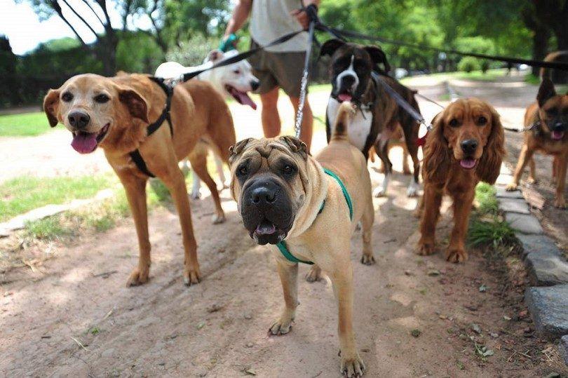 Comment démarrer une entreprise de marche de chien: une façon saine et agréable à faire de l`argent
