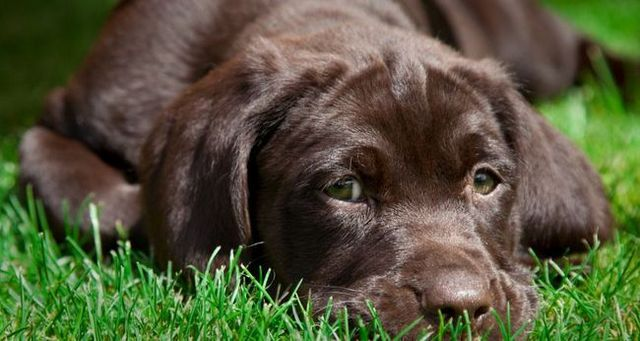 Brown Labrador chiot couché sur l`herbe
