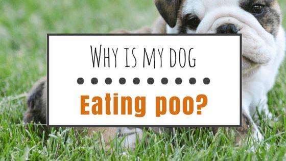 Comment arrêter un chien de manger merde (coprophagie)