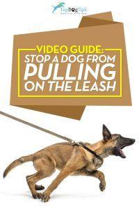 Comment arrêter un chien de tirer sur la laisse