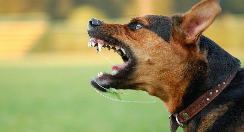 Comment arrêter un comportement agressif et de socialiser votre chien