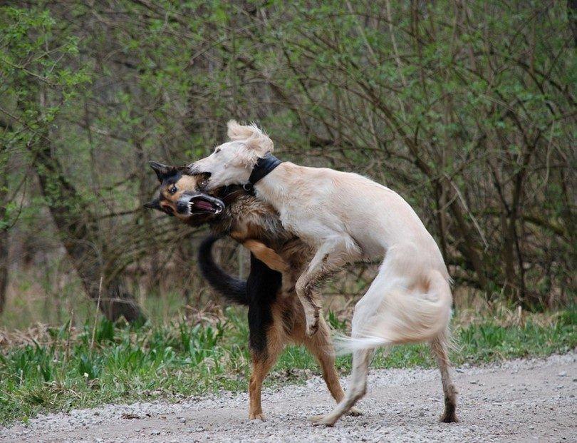 Les chiens se battent