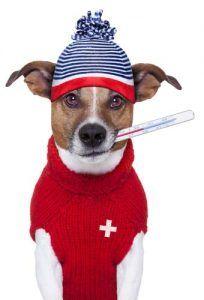 Les signes de la fièvre chez les chiens