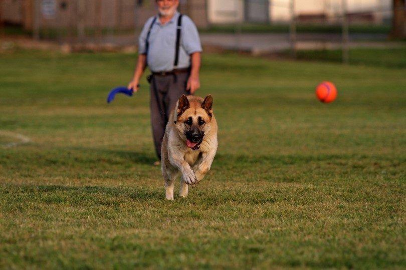 Comment apprendre à un chien à aller chercher: un exercice de loyauté et ludique