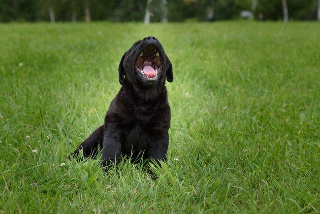 Noir chiot labrador assis sur l`herbe d`aboyer à la caméra