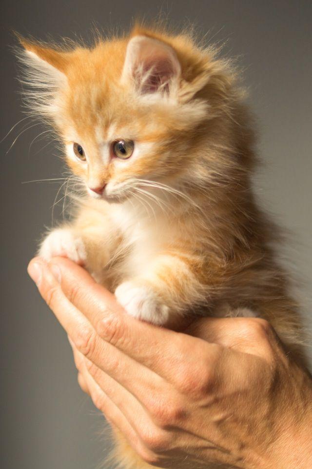 Como saber se um gato está grávida