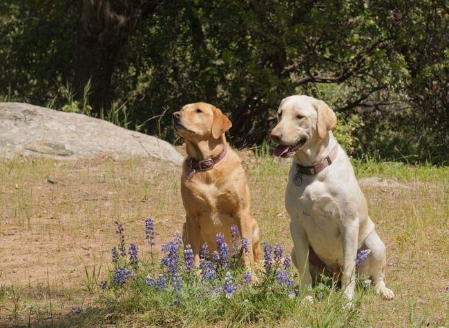 2 labradors assis tranquillement dans un pré derrière fleurs bleues