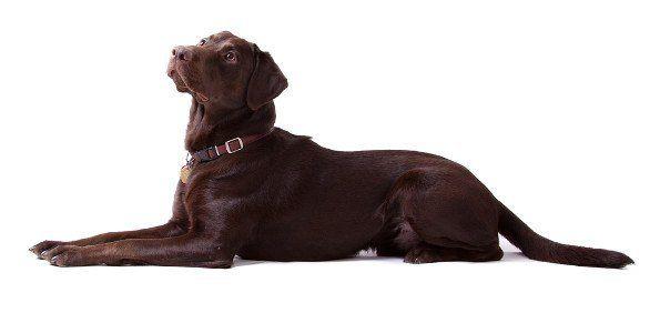 vue de côté d`un labrador chocolat portant droite sur un fond blanc