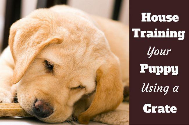 Comment utiliser une caisse à la maison de former un chiot: Gros plan d`un chewing laboratoire de chiot sur un biscuit pour chien
