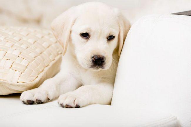 Gros plan blanc chiot Labrador couché sur un canapé en cuir blanc