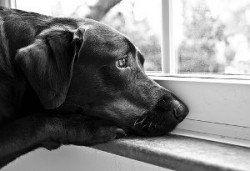 Quand ne pas caisse de votre chien - chien triste regardant par la fenêtre