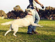 Un Labrador fmix regardant et courir après le jouet à mâcher son entraîneur tient.