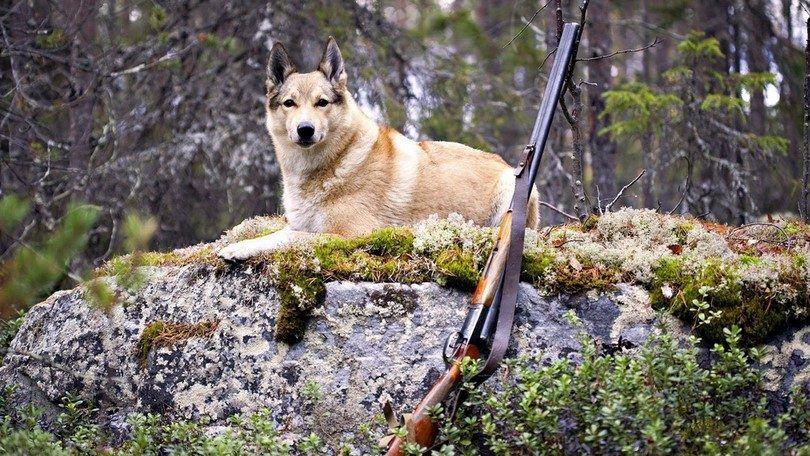 Chasse formation de chien: préparer buster pour activités de plein air intense