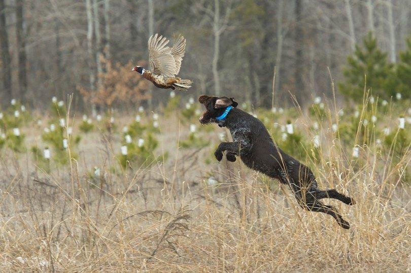 chasseur de chien expérimenté