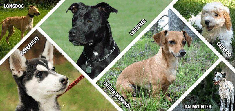 races de chiens hybrides: traits distinctifs, avantages et inconvénients
