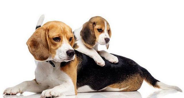 beagle âgé avec un beagle chiot