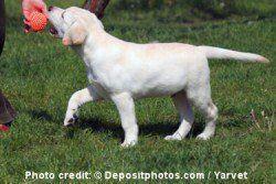 jaune chiot labrador jouer avec une balle