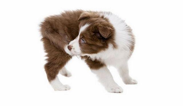 Est-ce que votre chien mord la queue? Raisons pour vous de chomp sur