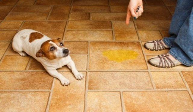 Est-ce que votre chien dressé pipi dans la maison? Il peut y avoir une raison