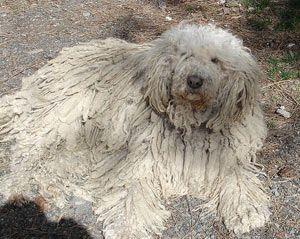 chien Komondor