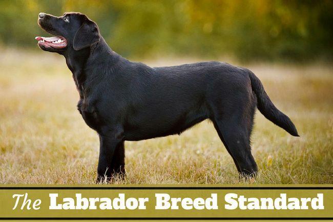 standard de la race du Labrador - ce qui fait un laboratoire d`un laboratoire?