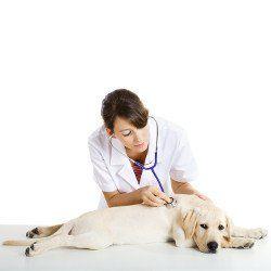 Un vétérinaire titulaire d`un stéthoscope écoutant un coeur jaune Labradors