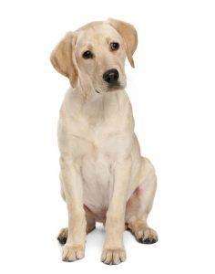 Labrador à vendre