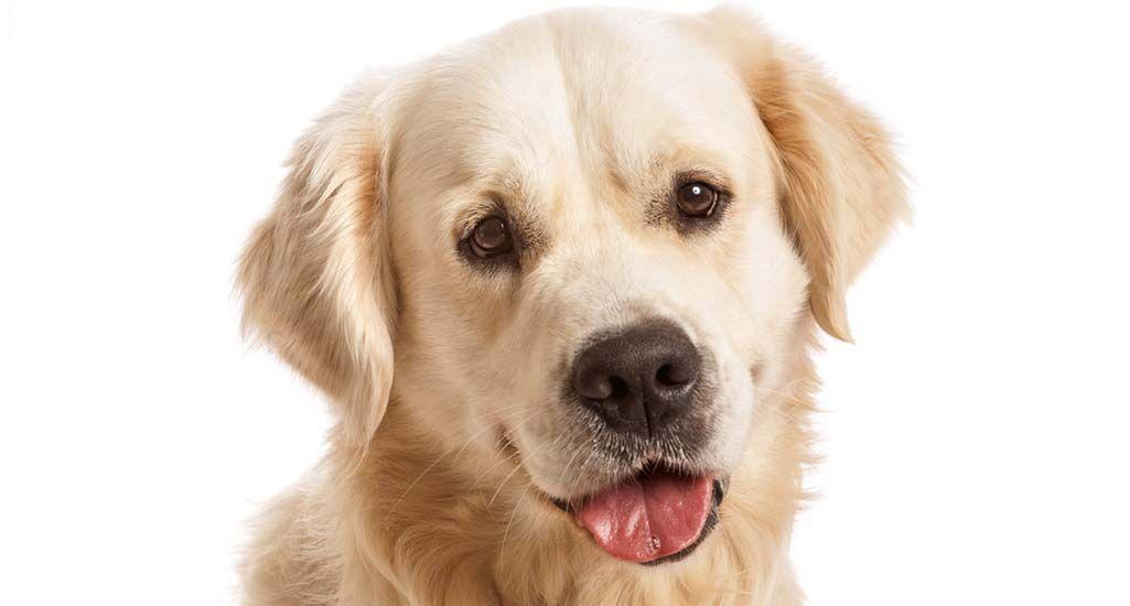 profil de chien Labrador