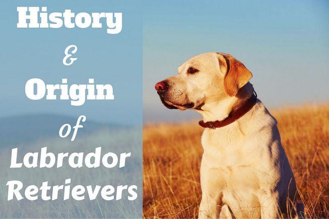 Histoire et origine des labradors écrites à côté d`un profil d`un laboratoire jaune