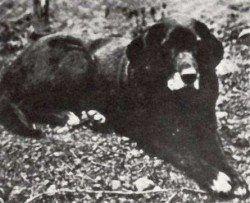 Labrador Retriever Histoire: Le Chien St Johns