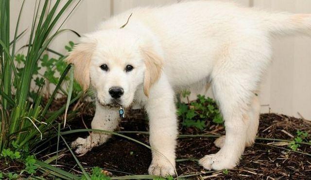 protection de la pelouse: comment arrêter un chien de creuser