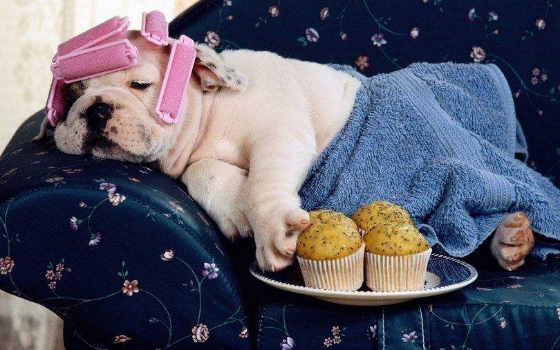 races de chien Lazy: top 10 des plus mignons mollassons