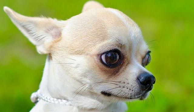 Petit chien, grand amour: un regard sur le chihuahua de la tête de pomme