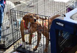 Deux chiens bruns dans un chenil.