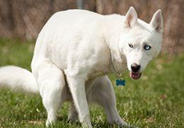 Blanc chien déféquer.