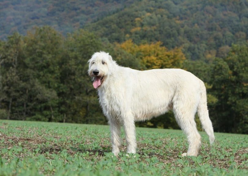 L`Irish Wolfhound