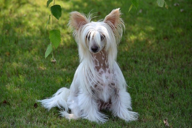 Chinese Crested race de chien
