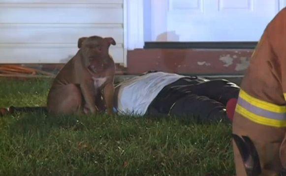 Loyal pit-bull qui se tenait la garde sur le propriétaire blessé retiré de la famille qu`elle aime