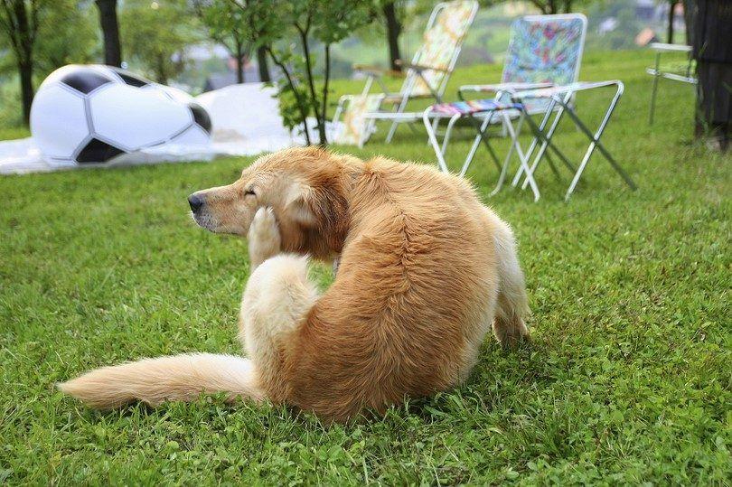 La maladie de Lyme chez les chiens: les signes et les solutions possibles de traitement
